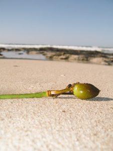 duquesaplaya.com olivas de mar - fruto de la posidonia